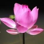 Lotus, pink